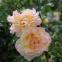Троянда чайно-гібридна Піс (Peace) 0