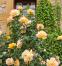 Троянда чайно-гібридна Піс (Peace) 2
