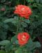 Троянда чайно-гібридна Верано (Verano) 2