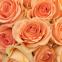 Троянда чайно-гібридна Версілія (Versilia) 0