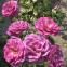 Троянда чайно-гібридна Віолет Парфум (Violette Parfume) 1