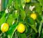 Лимон Павловський 0