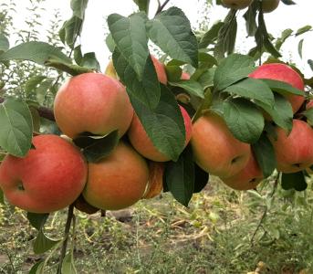 Яблуня Пінова