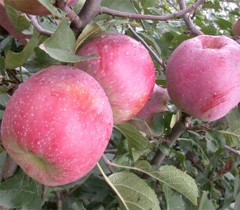 Яблуня Флоріна