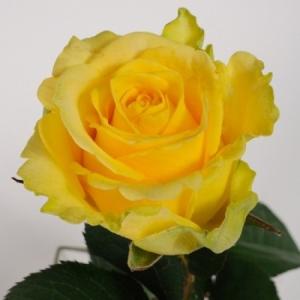 Роза английская Пенни Лейн (Penny Lane)
