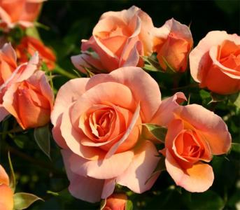 Роза кордес Априкола (Aprikola)