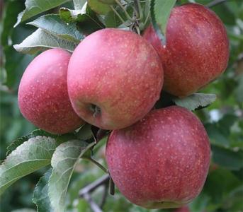 Яблуня Еліза