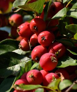 Яблуня райська дерево сад (жовта + червона)