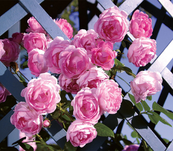 Троянда кордес Жасміна (Jasmina)