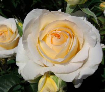 Роза чайно-гибридная Шопен (Chopin)