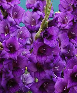 Гладиолус Purple Flora 3 шт