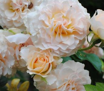 Роза английская Екскалибур (Excalibur)