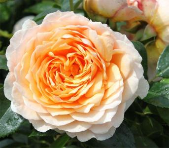 Роза английская Джинджер Силабаб (Ginger Silabub)