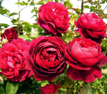 Роза английская Кинг Артур (King Arthur)