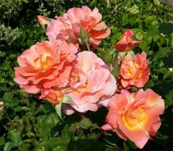 Роза парковая Вестерленд (Westerland)