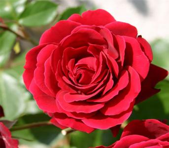 Троянда плетиста Нахеглут (Naheglut)