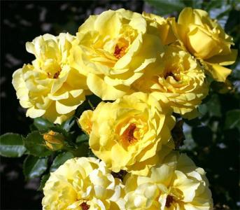 Троянда флорібунда Фрезія (Friesia)