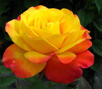 Роза флорибунда Самба (Samba)