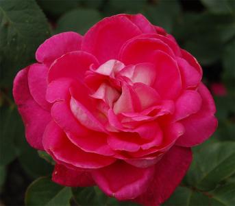 Роза чайно-гибридная Акапелла (Acapella)