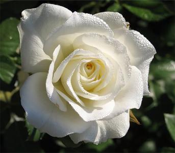 Троянда чайно-гібридна Акіто (Akito)