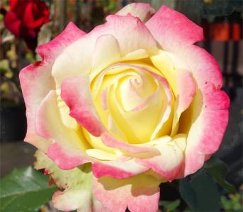 Роза чайно-гибридная Атена (Athena)