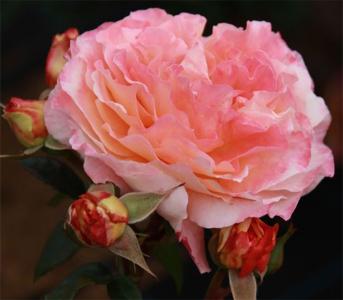 Роза чайно-гибридная Августа Луїза (Augusta Luise)