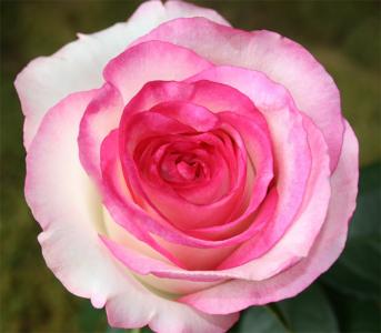 Роза чайно-гибридная Дольче Віта (Dolce Vita)