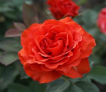 Роза чайно-гибридная Ель Торо (El Toro)