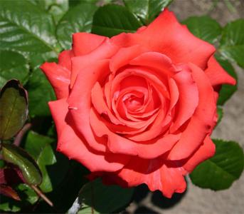 Троянда чайно-гібридна Перлина Гольштейна (Holstein Perle)