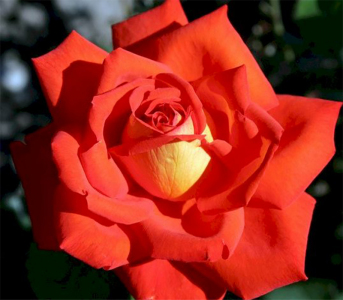 Троянда чайно-гібридна Лас Вегас (Las Vegas)