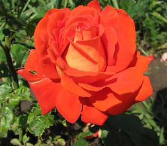 Троянда чайно-гібридна Верано (Verano)