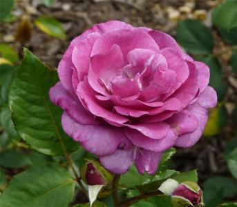 Троянда чайно-гібридна Віолет Парфум (Violette Parfume)