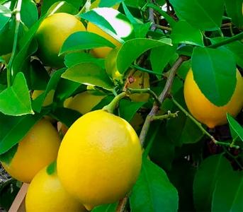 Лимон Новогрузинський