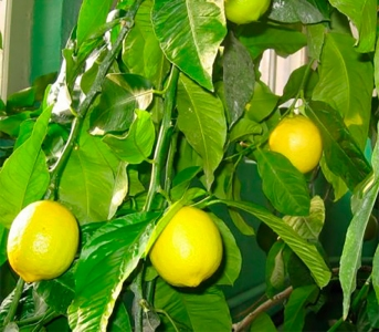 Лимон Павловський