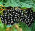Смородина черная Ориана
