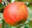 Яблоня Целесте