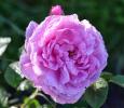 Роза английская Мерлин (Merlin)