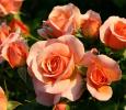 Троянда кордес Апрікола (Aprikola)