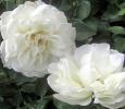 Троянда грунтопокривна Вайт Мейланд (White Meidiland)