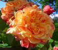 Троянда кордес Алоха (Aloha)