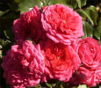 Роза кордес Лагуна (Laguna)