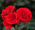 Троянда поліантова Кордула (Cordula)
