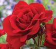 Троянда поліантова Лілі Марлен (Lilli Marellen)