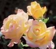 Троянда чайно-гібридна Піс (Peace)