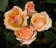 Троянда чайно-гібридна Версілія (Versilia)